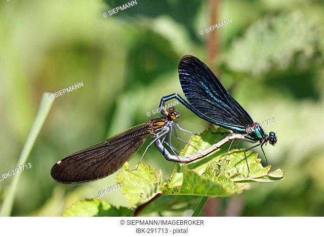 Beautiful demoiselle, pairing, Calopteryx splendens