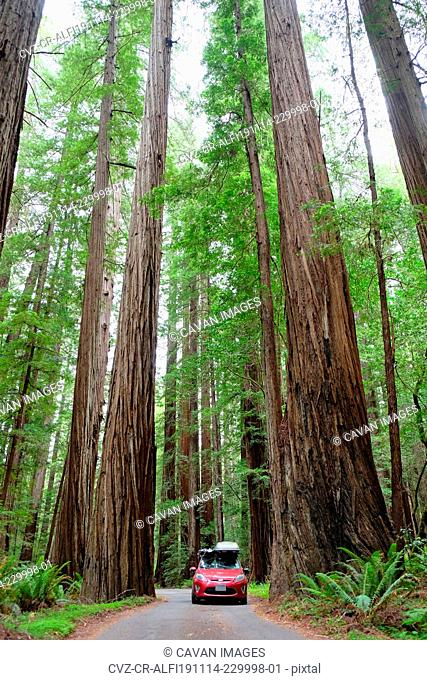 Driving Through the Redwoods in a Small Red Car