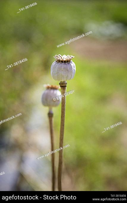 A pair of poppy seed pods in a green field