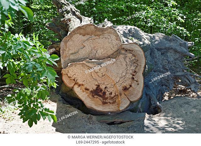 Beech tree, Fagus sylvatica, trunk, forest dieback, Schleswig-Holstein, Germany, Europe