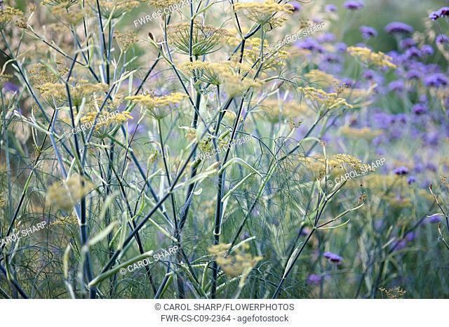 Bronze fennel, Foeniculum vulgare 'Purpureum', mustard yellow flowers on tall blue green stalks, combined planting with Brazilian verbena, Verbena bonariensis