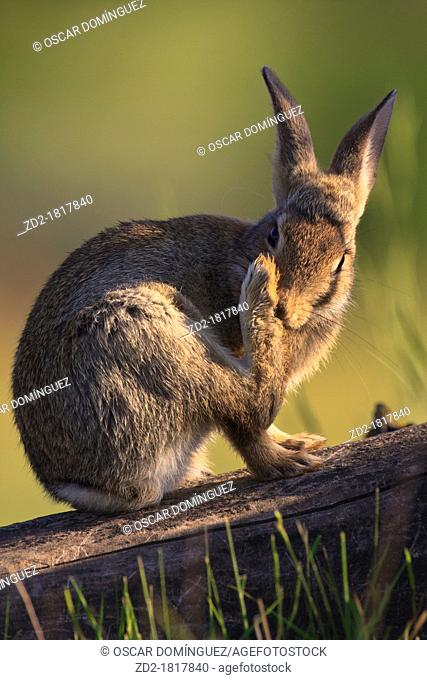 Young European Rabbit Oryctolagus cuniculus grooming itself  Lleida  Catalonia  Spain