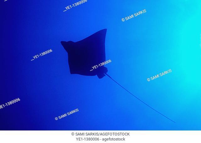 Spotted Eagle Ray Aetobatus narinari cruising in blue waters