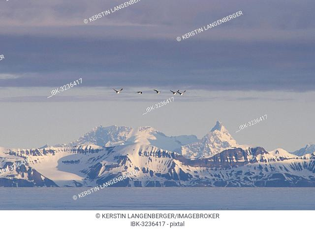 Guillemots or Murres (Uria) flying in front of the mountains of the east coast of Spitsbergen, Spitsbergen Island, Svalbard Archipelago, Svalbard and Jan Mayen