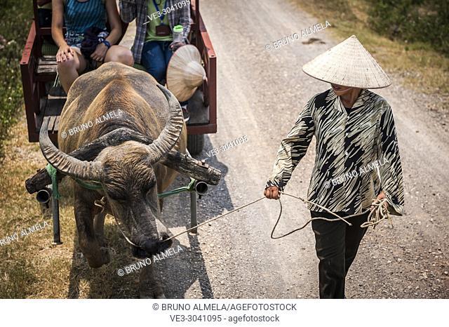 Asian water buffalo pulling Cart tour in Dong Tam (Ninh Binh province, Vietnam)