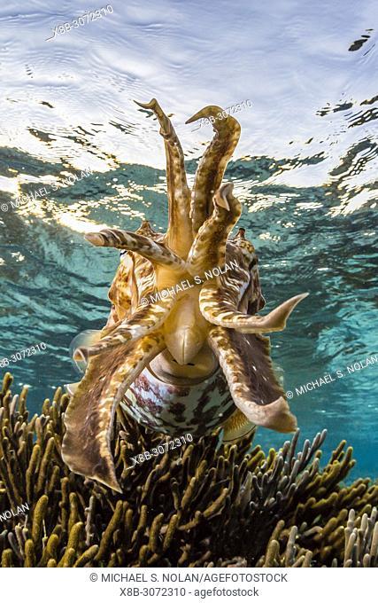 An Adult broadclub cuttlefish, Sepia latimanus, on the reef at Sebayur Island, Flores Sea, Indonesia