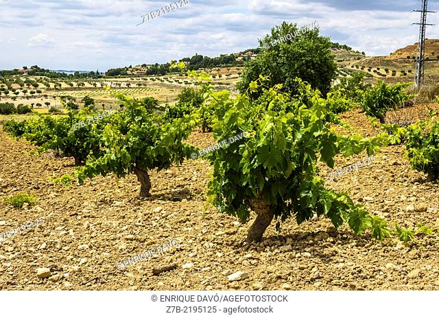 Down view of some vines in the land of Chinchon country, Madrid province, Spain