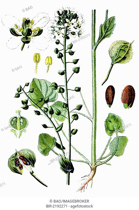 Common Scurvygrass (Cochlearia officinalis), crop, useful plant, medicinal plant, historical chromolithography, about 1870