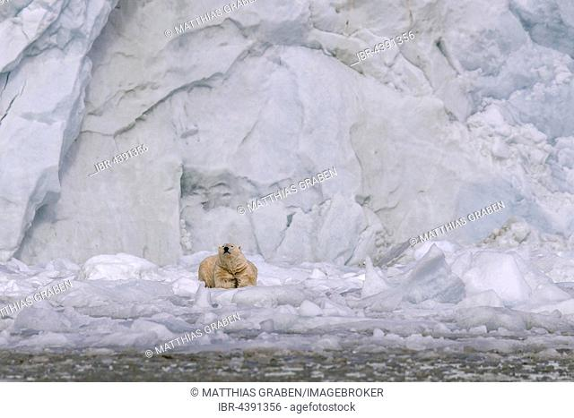 Polar bear (Ursus maritimus) resting on ice floe in front of glacier wall, Svalbard, Spitsbergen, Norway