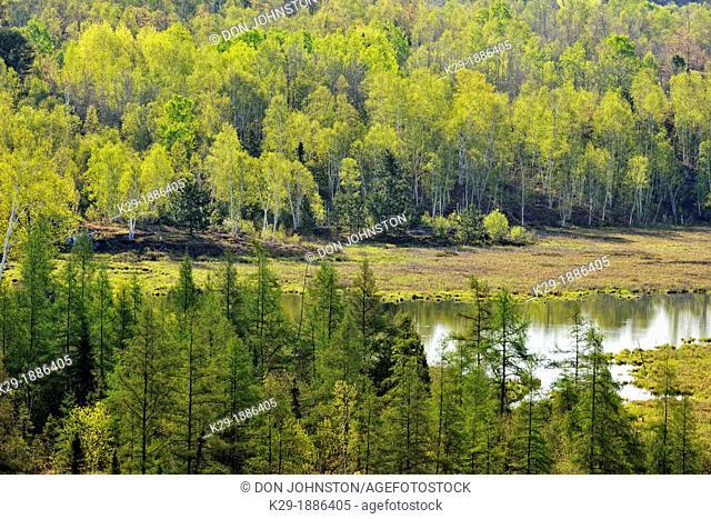 Birch, aspen and larch trees with emerging foliage near a leatherleaf bog, Greater Sudbury lively, Ontario, Canada