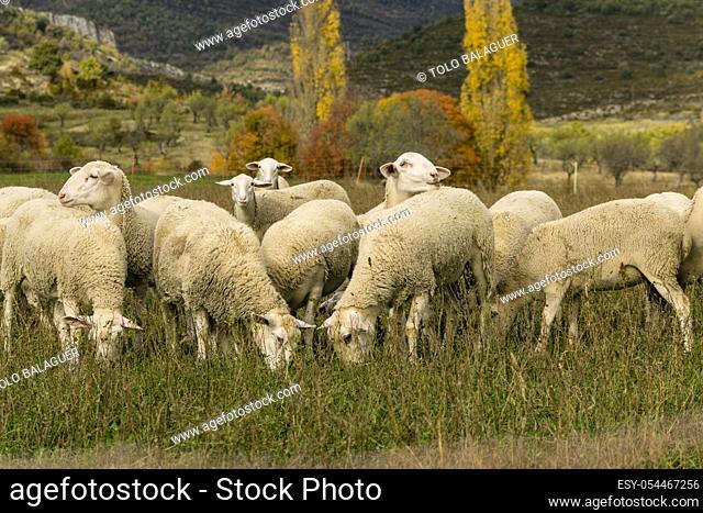 rebaño de ovejas, Santa María de la Nuez , municipio de Bárcabo, Sobrarbe, Provincia de Huesca, Comunidad Autónoma de Aragón, cordillera de los Pirineos, Spain