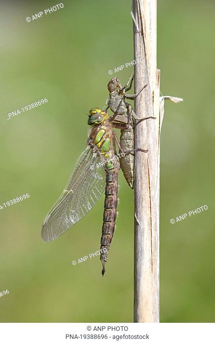 Hairy Dragonfly Brachytron pratense - National Park Weerribben-Wieden, De Weerribben, Kalenberg, Steenwijkerland, Overijssel, The Netherlands, Holland, Europe