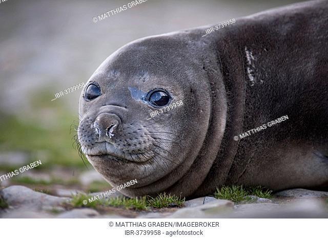 Southern Elephant Seal (Mirounga leonina), pup, Gold Harbour, South Georgia and the South Sandwich Islands, United Kingdom