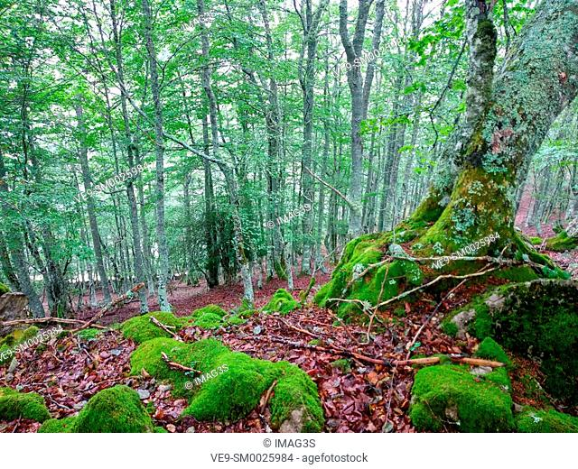 Beech Forest in summer in Somiedo Natural Park and Biosphere Reserve. Asturias, Spain