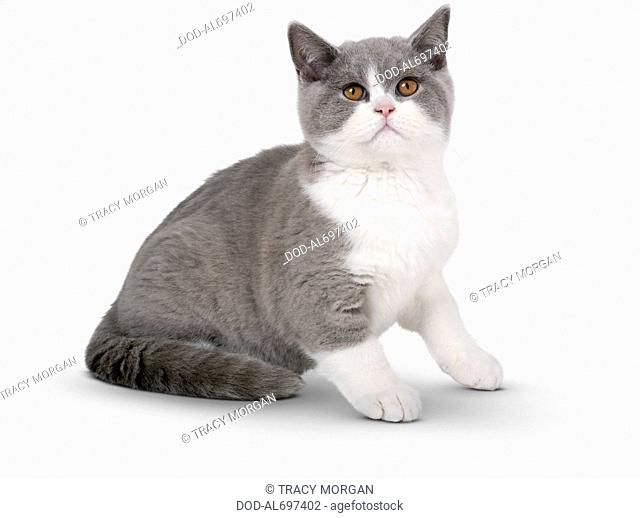 Blue and white British Shorthair Bicolour kitten