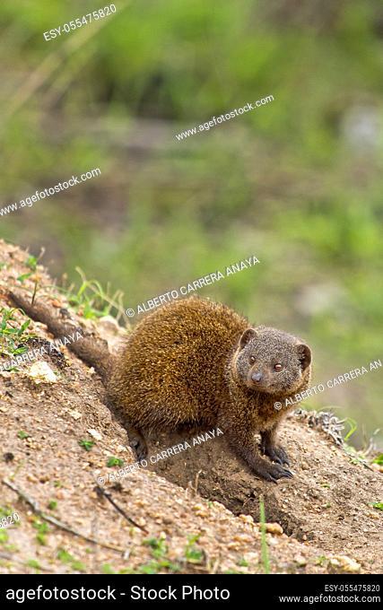 Dwarf mongoose, Helogale parvula, Kruger National Park, Mpumalanga, South Africa, Africa