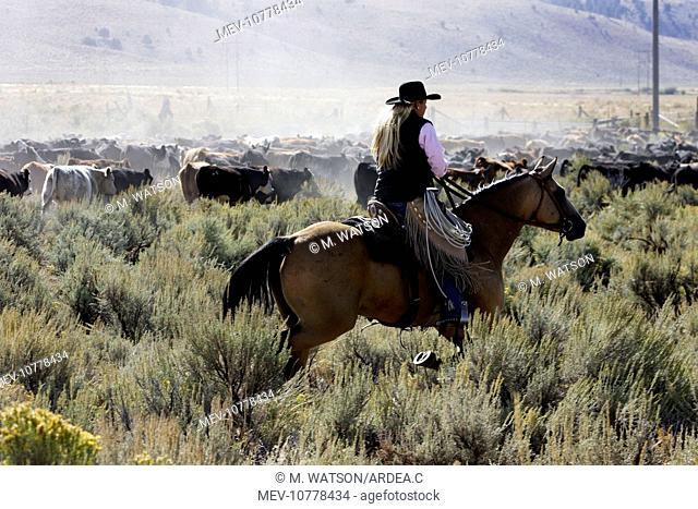 Cattleman herding Angus / Charolais cattle