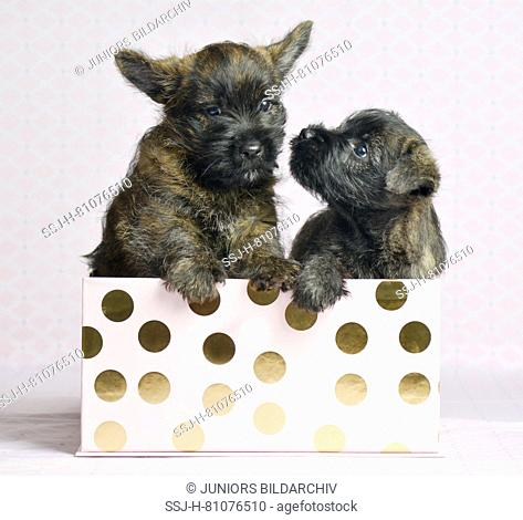 Cairn-Terrier. Two puppies (6 weeks old) in a box. Studio picture. Germany