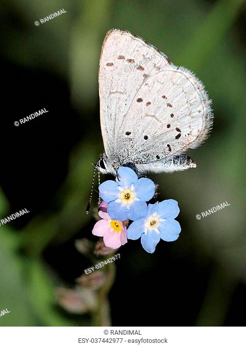 Blue Nymph Butterfly on Blue Flowers
