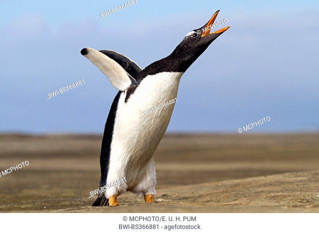 gentoo penguin (Pygoscelis papua), flapping wings and calling, Antarctica, Falkland Islands