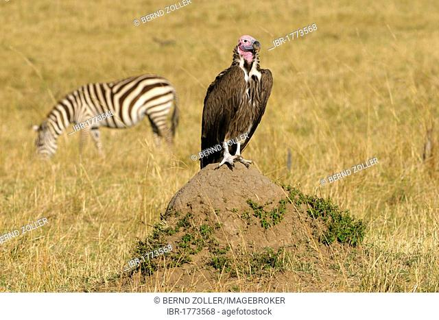 Lappet-faced Vulture or Nubian Vulture (Torgos tracheliotos), sitting on a termite mound, Masai Mara National Reserve, Kenya, Africa