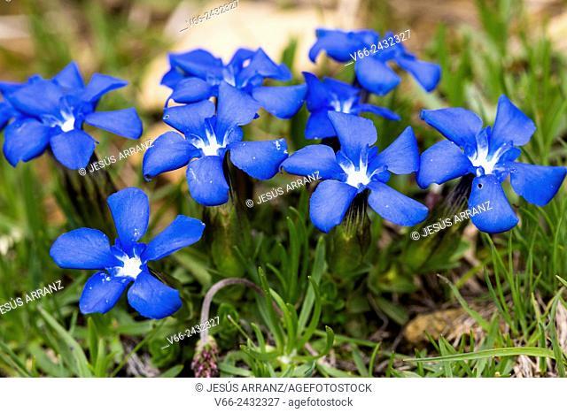 Spring gentian Gentiana verna