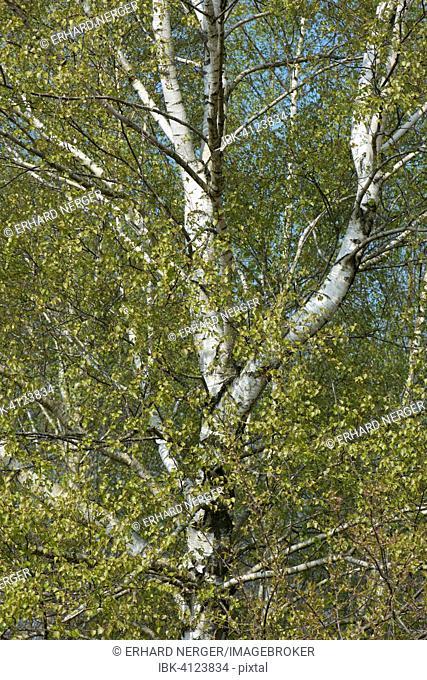 Birch trees (Betula pendula), foliation, Lower Saxony, Germany