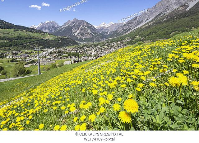 The colors of spring flowering with the village of Bormio in the background Upper Valtellina Lombardy Italy