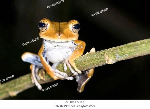 Hyla calcarata frog from ecuador