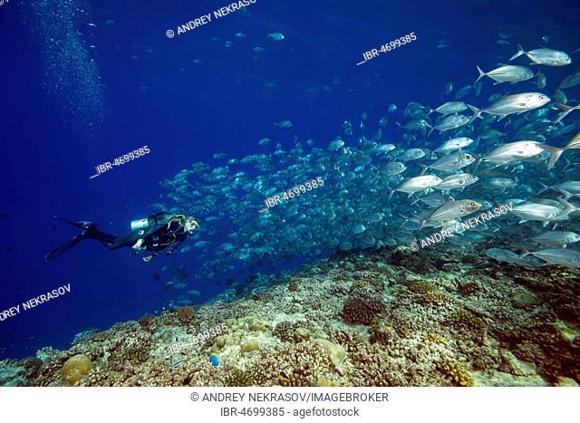 Female scuba diver swims with school of bayads, Bigeye Trevally or Dusky Jack (Caranx sexfasciatus) in blue water over coral ree , Fuvahmulah island