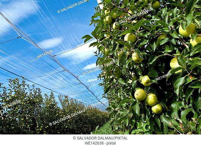 agriculture of apples,golden apple category,solar lighting,location girona,catalonia,spain,europe,