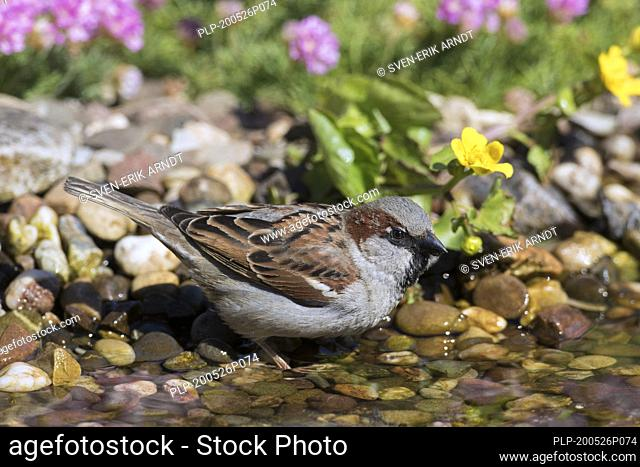 House sparrow (Passer domesticus) male drinking water from brook / stream