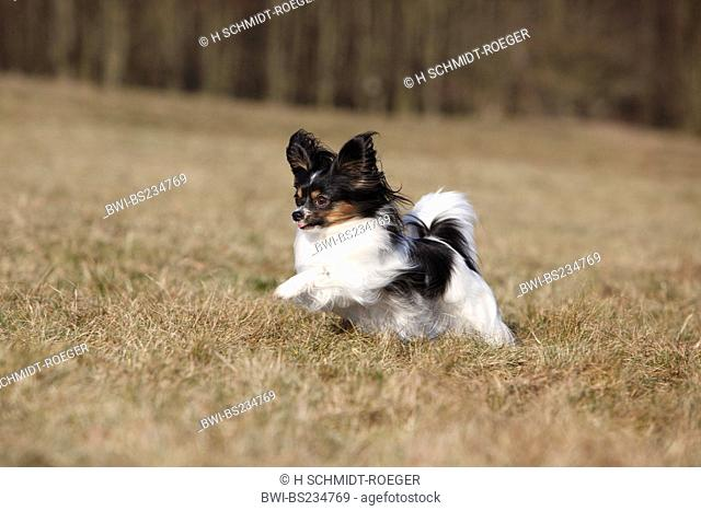 Papillon Canis lupus f. familiaris, running through a meadow, Germany