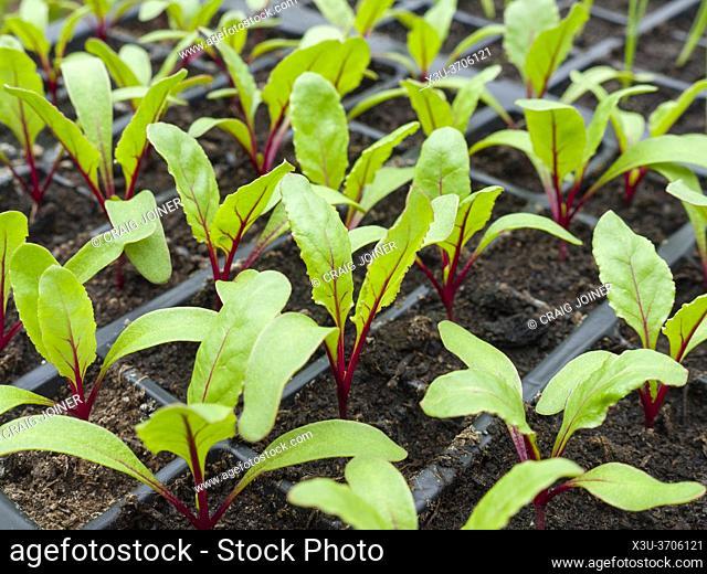 Newly germinated beetroot seedlings growing in modules