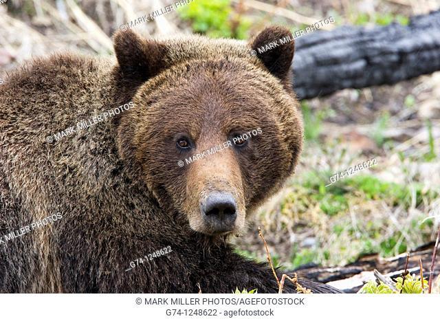 Grizzly Bear portrait, Yellowstone National Park, USA