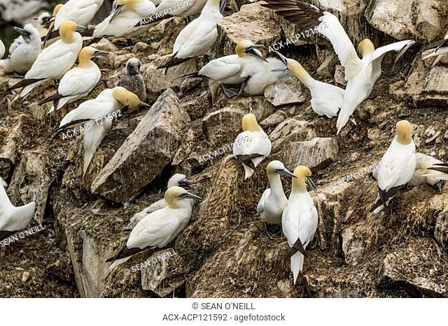 birds fighting, Northern Gannet, Morus bassanus, Cape St. Mary's ecological reserve, Newfoundland, Canada, breeding colony