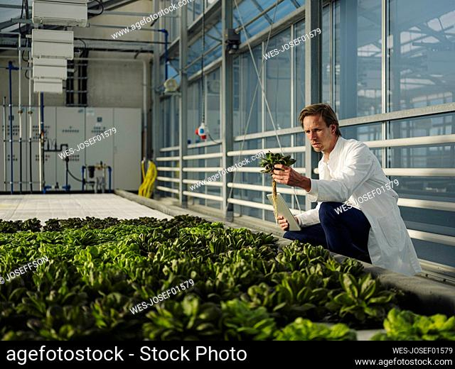 Scientist with tablet examining lettuce in a greenhouse