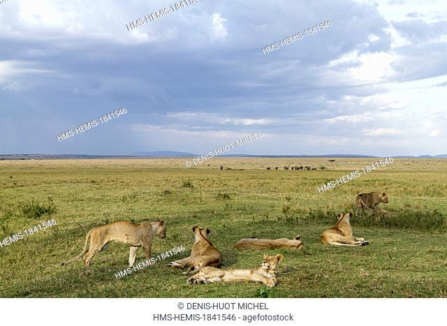 Kenya, Masai-Mara game reserve, lion (Panthera leo), resting pride