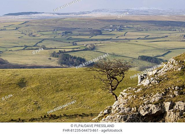 View of upland with bare hawthorn tree growing from limestone outcrop, Common Scars, Yorkshire Dales N.P., North Yorkshire, England, February