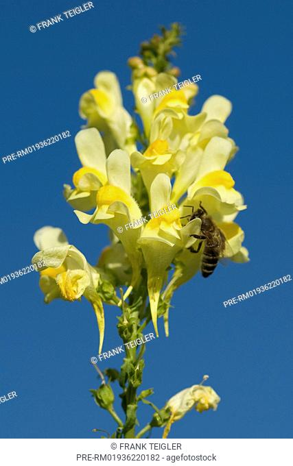 Common Toadflax, Linaria vulgare / Echtes Leinkraut, Linaria vulgare