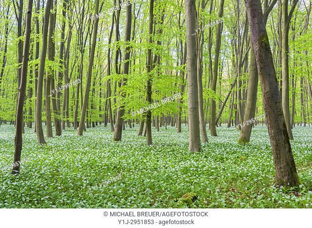European Beech Forest (Fagus sylvatica) with Ramson (Allium ursinum), Hesse, Germany, Europe