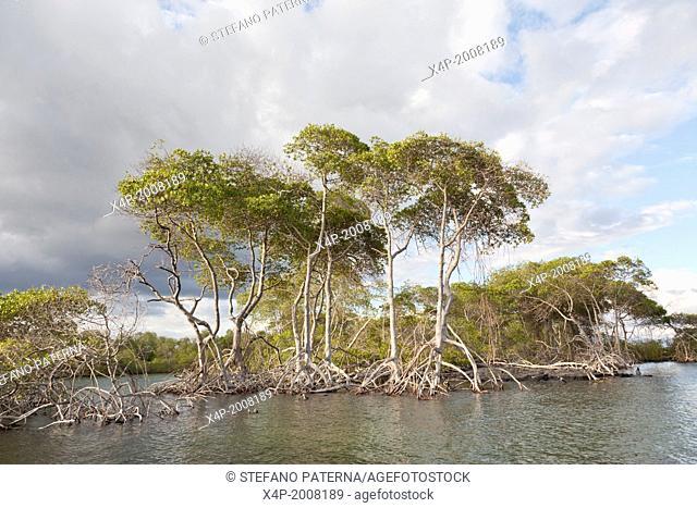 Mangrove, Punta Mangle, Fernandina Island, Galapagos Islands, Ecuador
