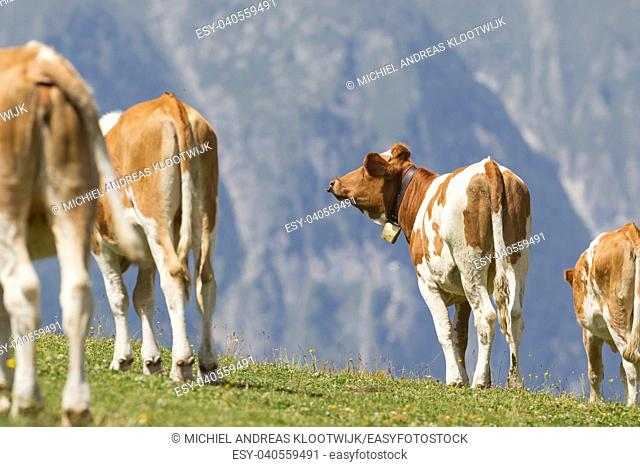 Milk cow in a meadow of grass, Alps, Austria