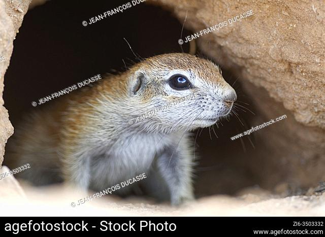Cape ground squirrel (Xerus inauris), young, inside the burrow, looking out, alert, Kgalagadi Transfrontier Park, Northern Cape, South Africa, Africa