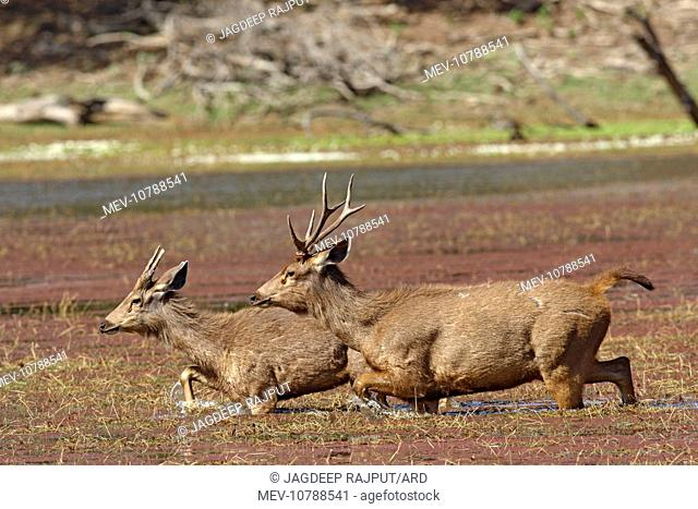 Sambar Stags - walking through water (Cervus unicolor / Rusa unicolor)