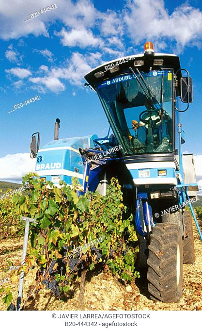 Grape harvesting. Murieta. Navarre. Spain