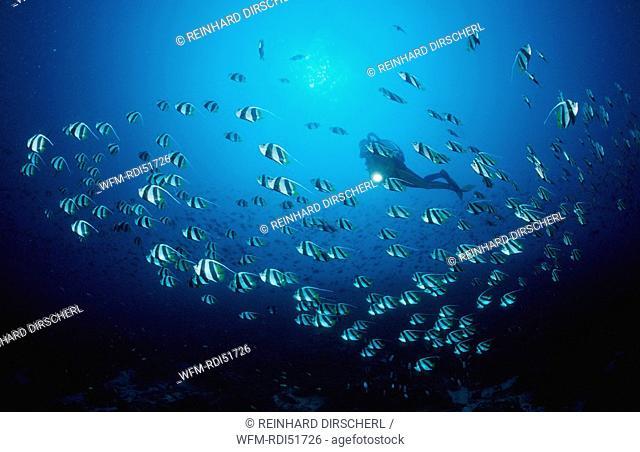 Pennant bannerfish and Scuba diver, Heniochus diphreutes, Indian Ocean Ari Atol, Maldives Island