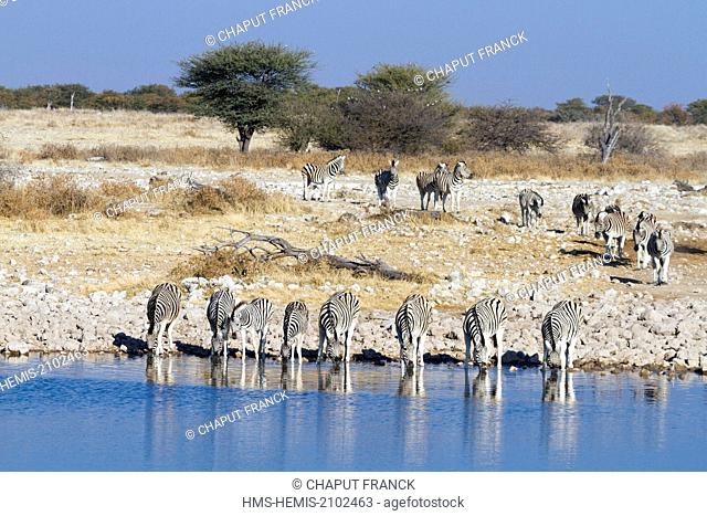 Namibia, Oshikoto region, Etosha National Park, Burchell's zebras (Equus burchellii) at waterhole