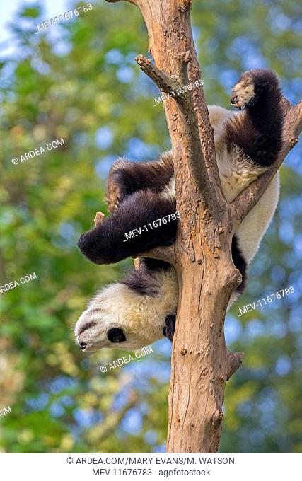 Giant Panda in tree controlled conditions