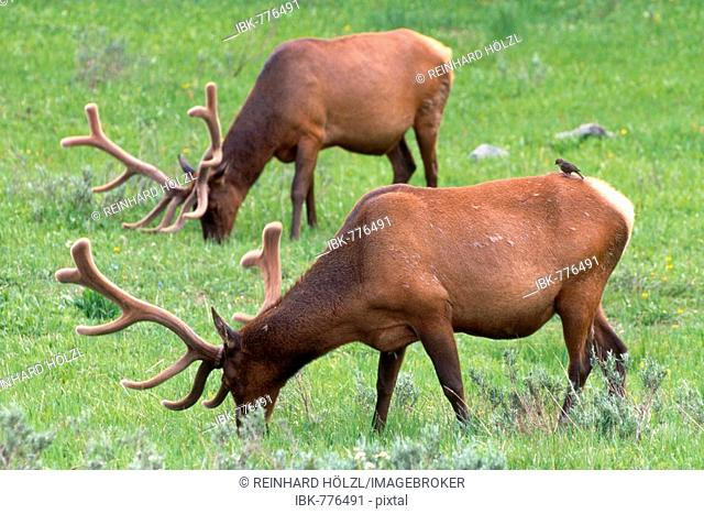Elk (Cervus canadensis), Yellowstone National Park, Wyoming, USA